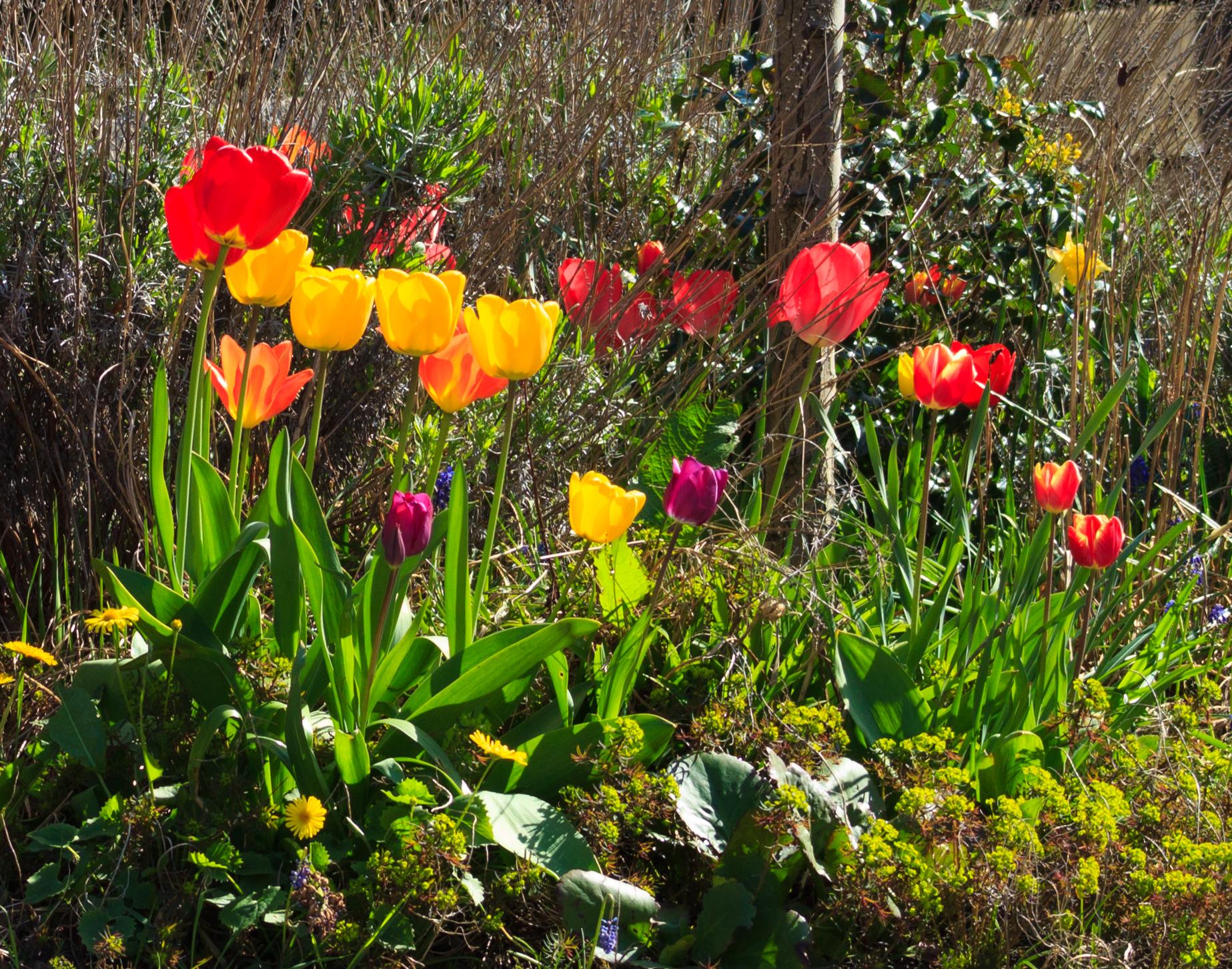 Tulpen, die Frühlingsboten