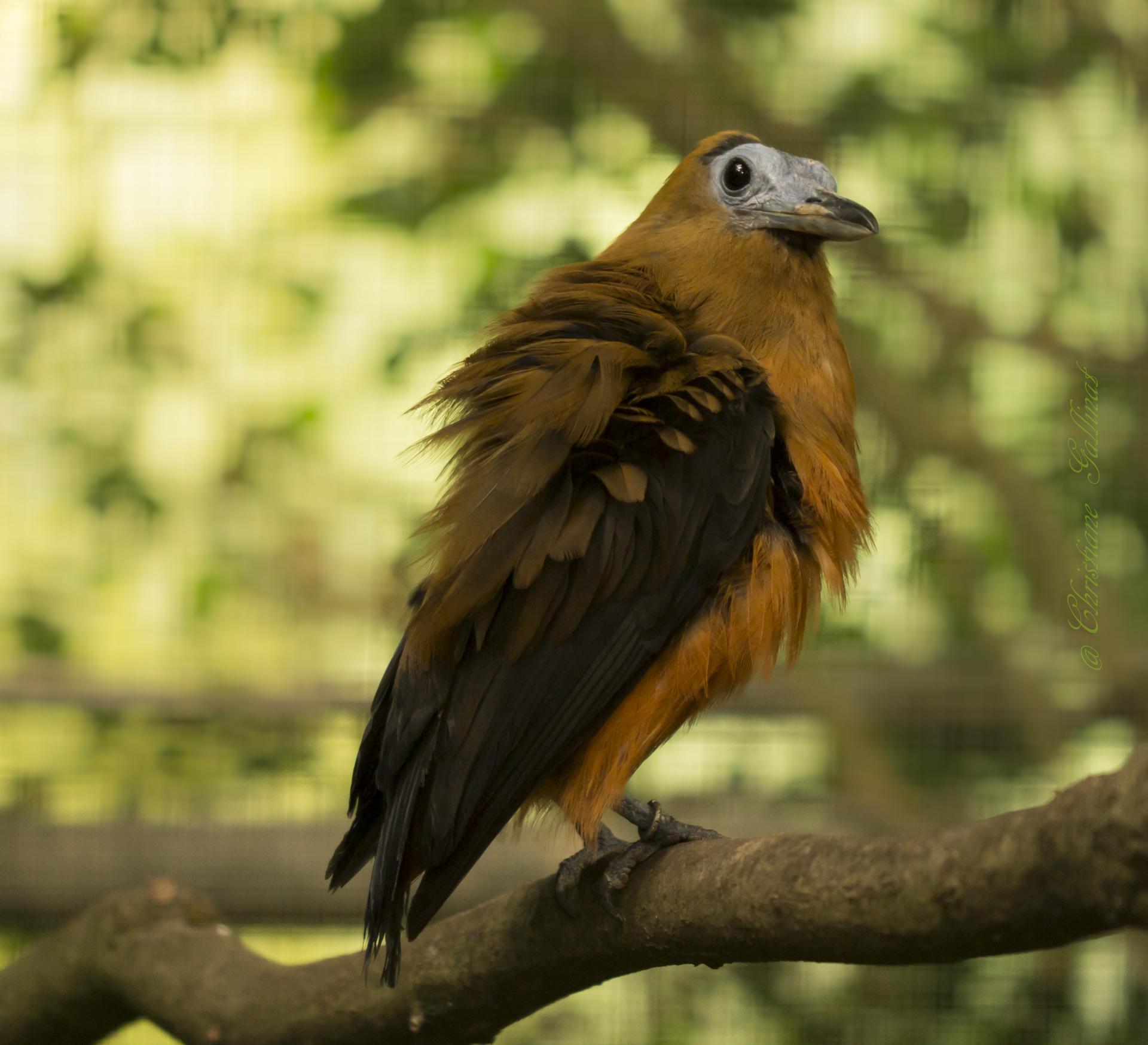 Capuchinbird/Kapuzintinga