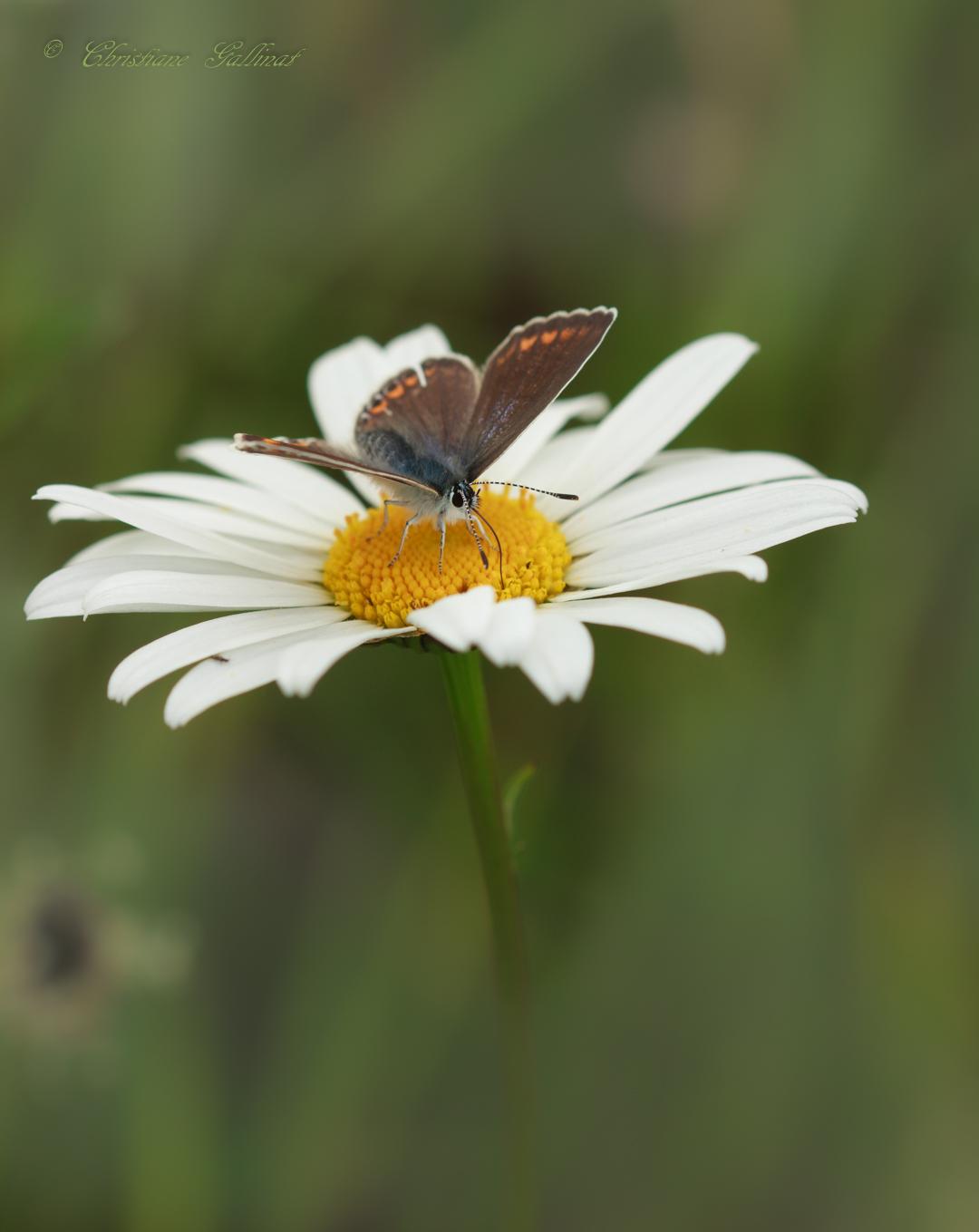 Bläuling ln zu: Navigation, Suche  Bläulinge Hauhechel-Bläuling ♂ (Polyommatus icarus)  Hauhechel-Bläuling ♂ (Polyommatus icarus)   Systematik Klasse: Insekten (Insecta)  Unterklasse: Fluginsekten (Pterygota)  Überordnung: Neuflügler (Neoptera)  Ordnung: