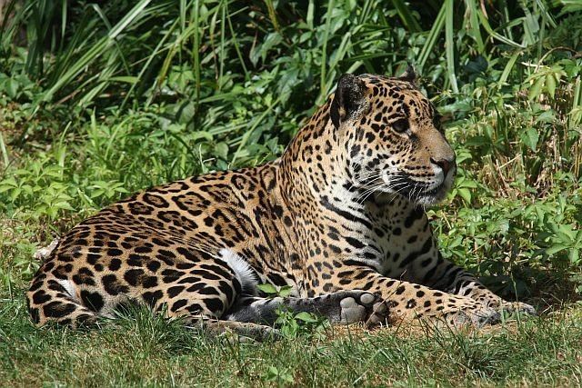 der Leopard, zum Glück ziemlich weit weg...