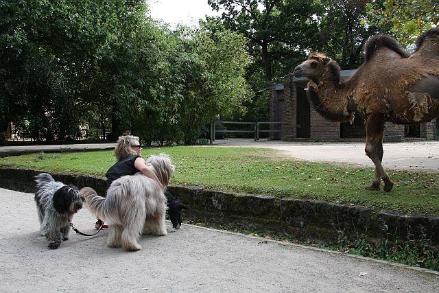 keine Angst vorm Riesenkamel, nur ein großes Pferd.....