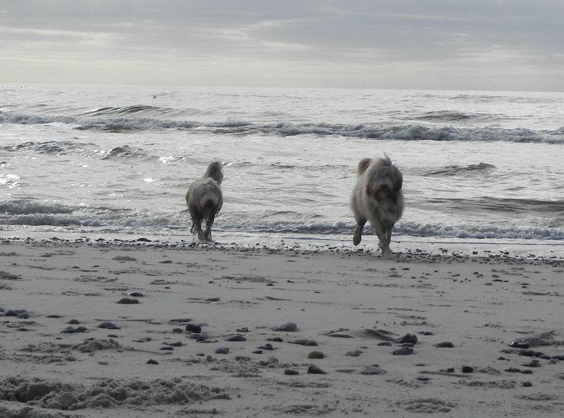 .....die beiden Beardies, Spaß bis über beide Backen....