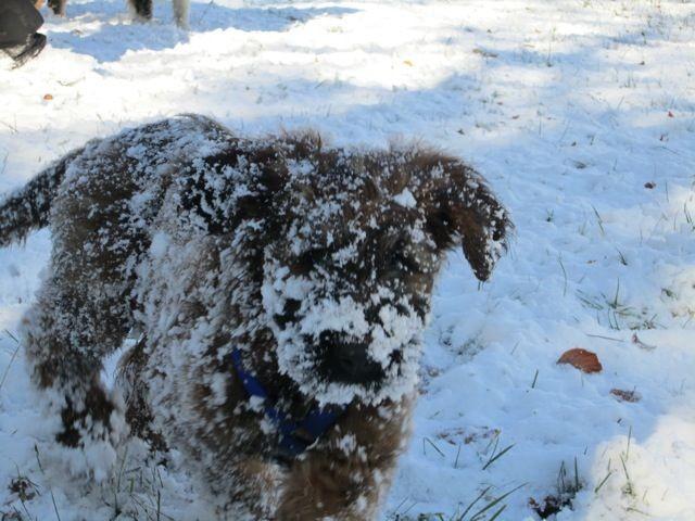 Briards lieben Schnee! Oder?!
