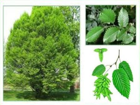 le charme ou carpinus betulus bois de chauffage labucheducolombier. Black Bedroom Furniture Sets. Home Design Ideas