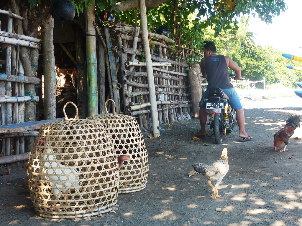 Chickens (for cock fighting) at the fishing village