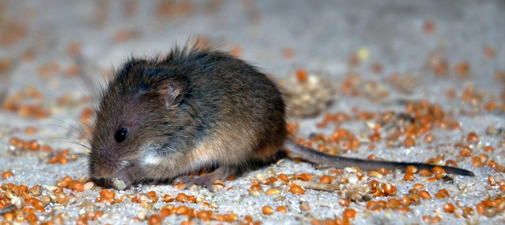 Souris Dans Les Murs Comment Faire comment se débarrasser des souris dans la maison - ald anti