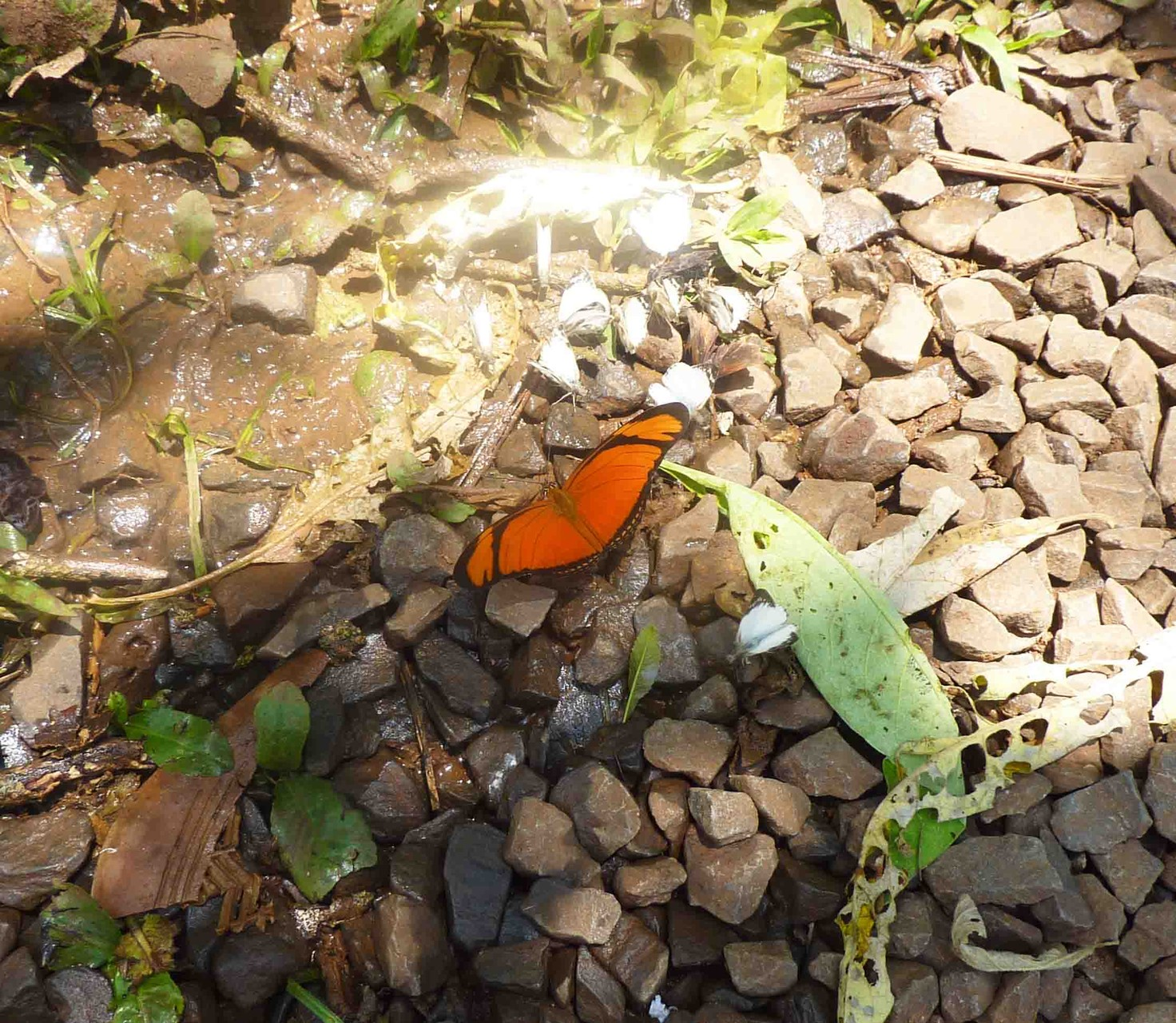 Un dryas iulia dit aussi flambeau ou papillon flamme