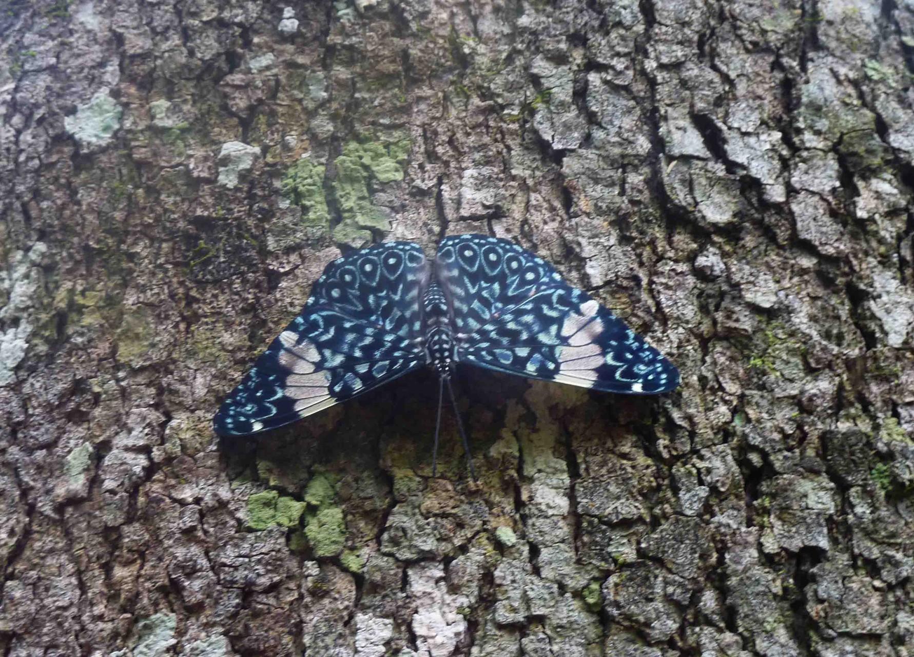 L'hamadrys amphinome ou craqueur rouge (ailes postérieures couleur brique)