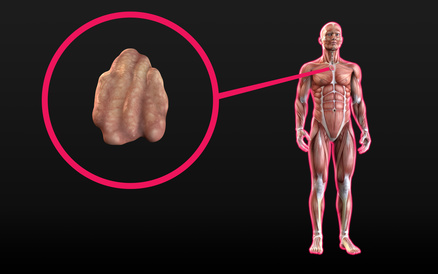Thymusdrüse - Wie du mit ihrer Hilfe alte Emotionen lösen kannst und ...