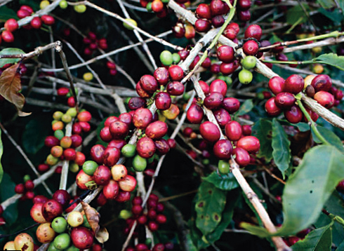 Kaffeepflanze Heirloom Guji Äthiopien