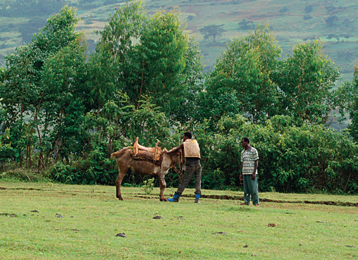 Kaffeeanbau in Äthiopien