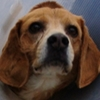 Buddy Beagle Association CANIMA