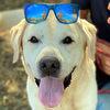Duncan Labrador  Zuhause gesucht Association CANIMA Zukunft für Tiere Tiervermittlung Notfall