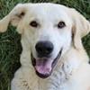 Bella Kangal-Mix weiblich Zuhause gesucht Association CANIMA Zukunft für Tiere Tiervermittlung Notfall