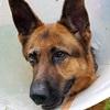 Laika Deutscher Schäferhund Notfall Zuhause gesucht Association CANIMA Zukunft für Tiere Tiervermittlung Notfall