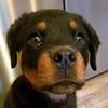Olaf neufundländer- Mix Zuhause gesucht Association CANIMA Zukunft für Tiere Tiervermittlung Notfall