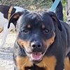 Django Rottweiler Rüde Zuhause gesucht Association CANIMA Zukunft für Tiere Tiervermittlung Notfall