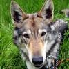 Wolfshund-Mix Zuhause gesucht Association CANIMA Zukunft für Tiere Tiervermittlung Notfall