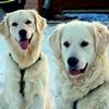 Irka Joyce Golden Retriever Zuhause gesucht Association CANIMA Zukunft für Tiere Tiervermittlung