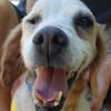 Dyna Epagneul-Bretone Mix Notfall weiblich Zuhause gesucht Association CANIMA Zukunft für Tiere Tiervermittlung Notfall