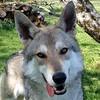 Simji Tschechoslowakischer Wolfshund  Zuhause gesucht Association CANIMA Zukunft für Tiere Tiervermittlung Notfall