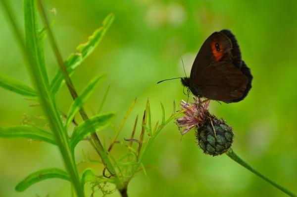 Utile in questo caso usare il punto singolo e mettere a fuoco la farfalla, altrimenti essendo l'immagine tendente al verde, il rischio è che la fotocamera metta a fuoco alternativamente il primo piano e lo sfondo