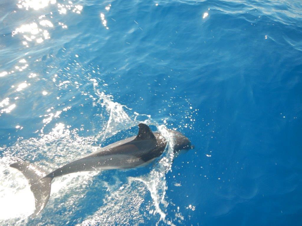 Delfine begleiten die JOJO auf der Segeltour zwischen Sardinien und Korsika - einfach mal an Bord kommen!