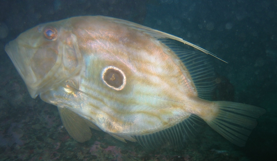 john dory - picture by Markus Jimi Ivan 2006 - jimiivan.at