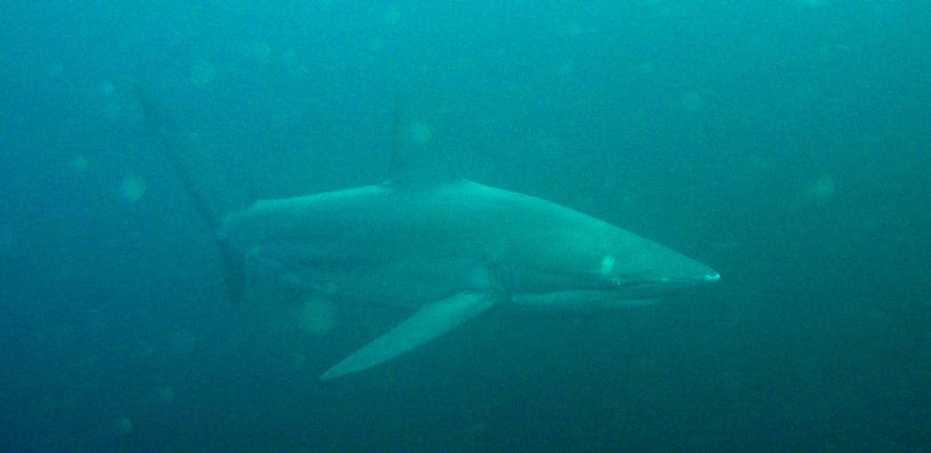 bronce whaler shark - picture by Markus Jimi Ivan 2006 - jimiivan.at
