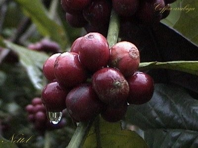 Cérise de café ou café en pulpe