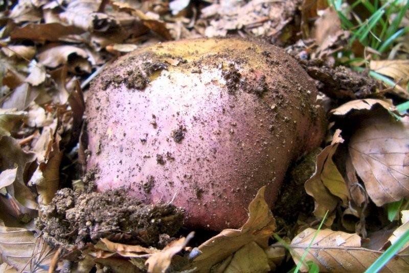 Russula romellii