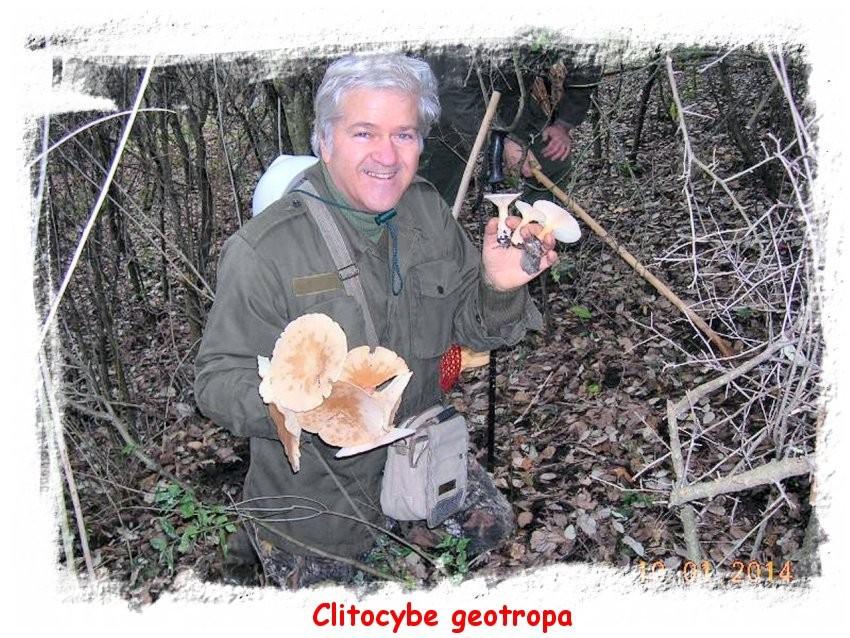 Clitocybe geotropa - cimballo