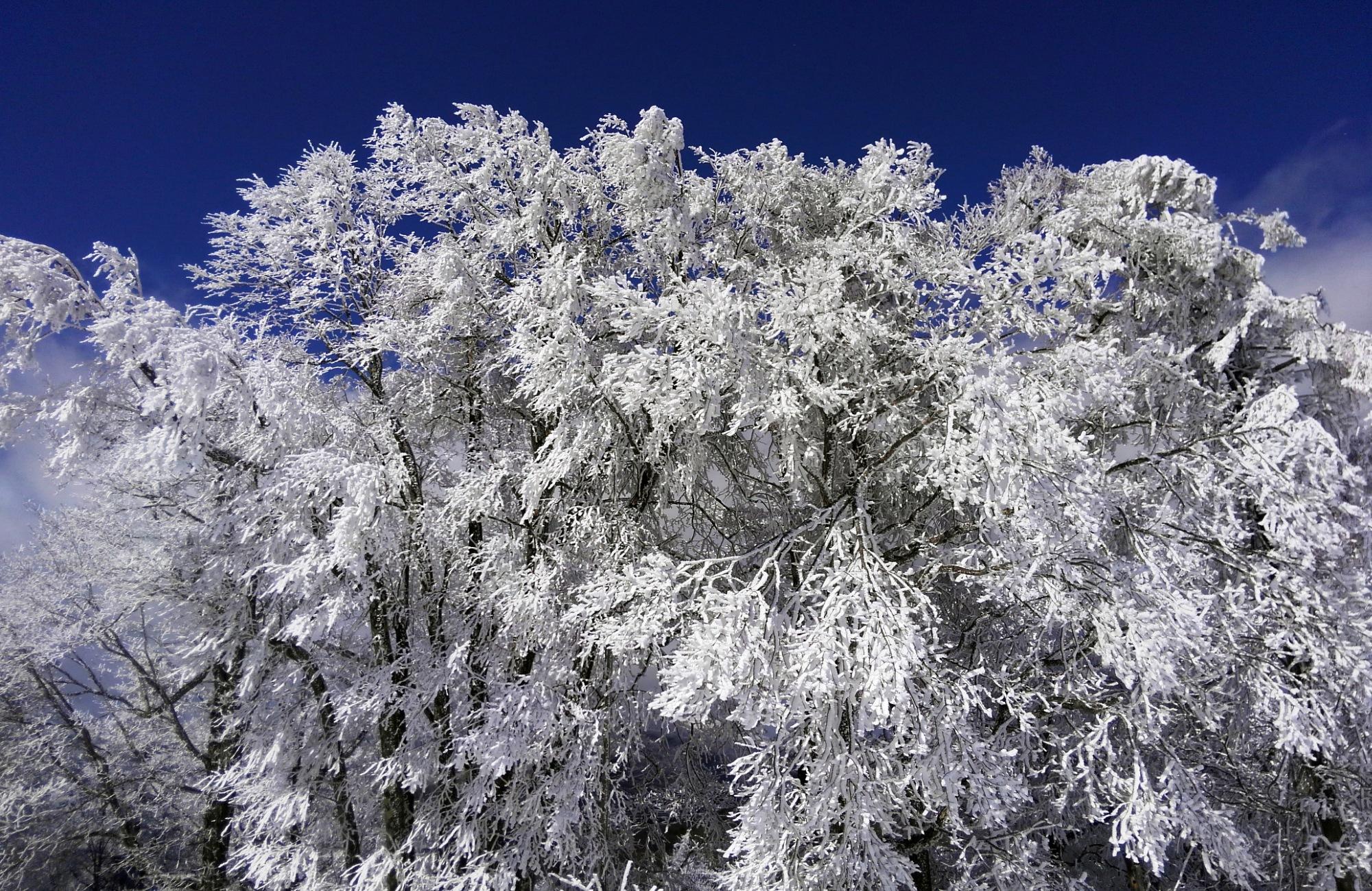霧氷の華が満開