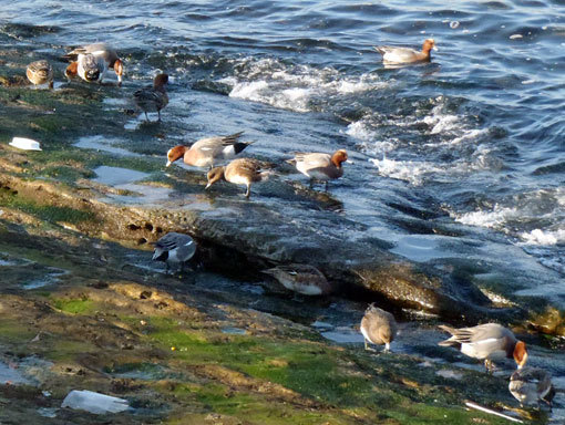 馬堀海岸に集まった渡り鳥