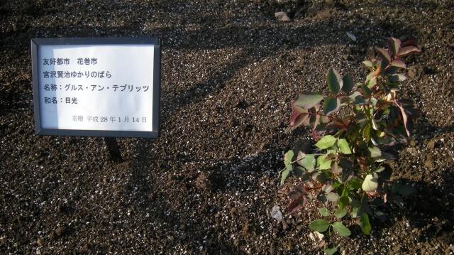 花巻市寄贈 宮澤賢治氏ゆかりのバラ「グルス アン テプリッツ」