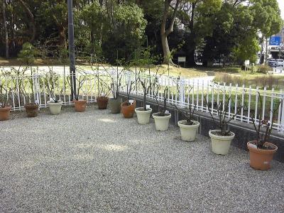 八幡山の洋館 2009年開館時から植えられていたバラ鉢上げ