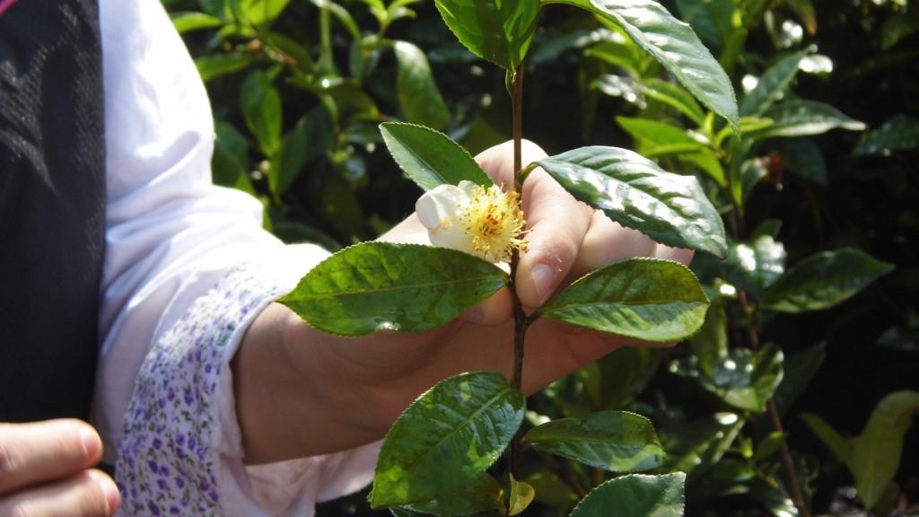 un plant de thé