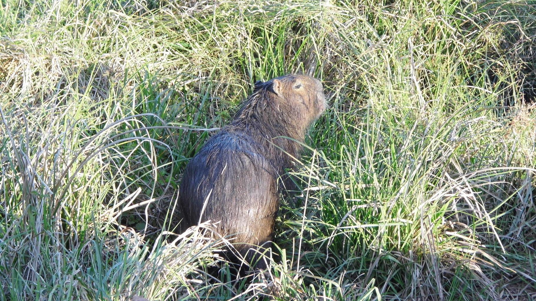 carpincho ou capibara