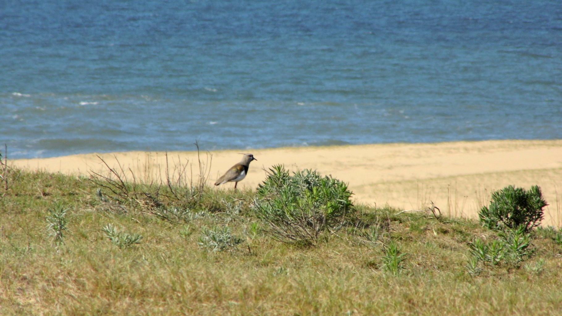 Cet oiseau est emblématique de l'Uruguay et de la partie Entre Rios de l'Argentine. Il a donné son nom à l'équipe de Rugby Uruguayenne : Los TEROS