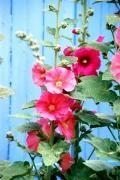 Rose trémières