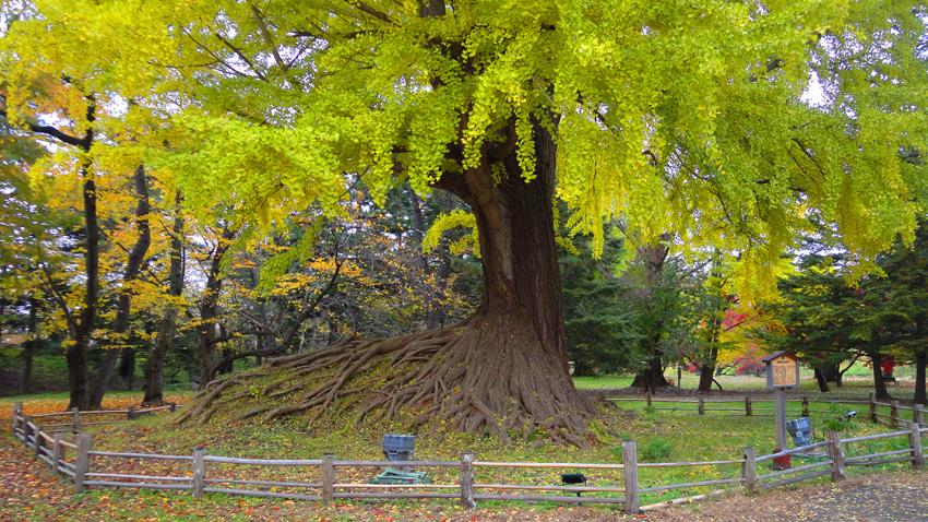 「イチョウ」樹齢300年以上 幹周600cm 樹高32m