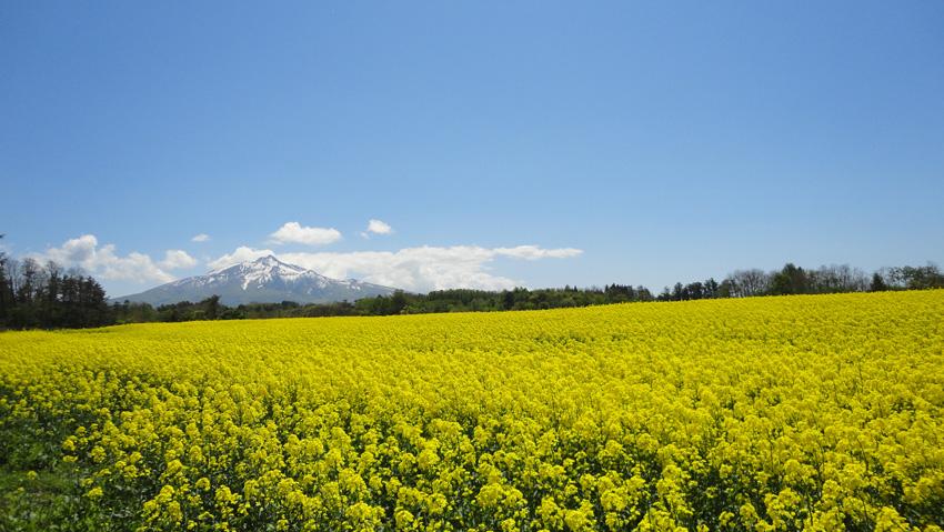 16.  菜の花が美しい5月中旬は戦前のイメージを払拭させてくれる