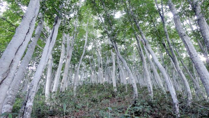「四合目」からブナ樹林帯