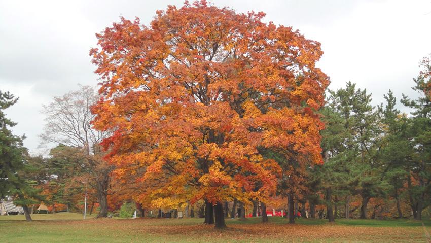 「カエデ」樹齢300年以上