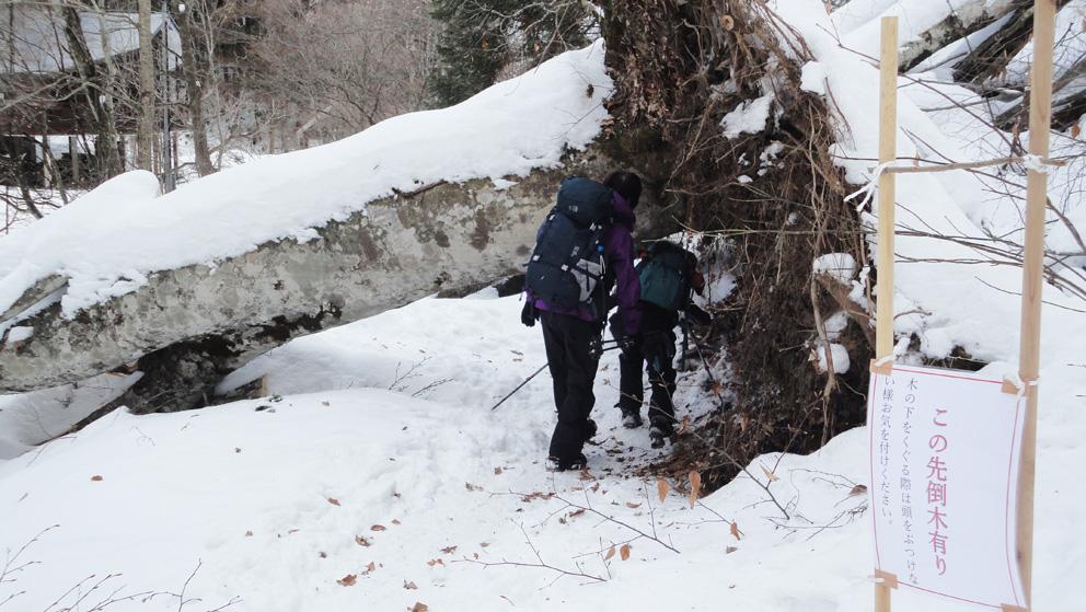 「マンガンの道」登山口付近に倒木