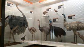 鳥の博物館。入場料300円。世界最大の鳥,ダチョウから展示が始まります。デカ!!