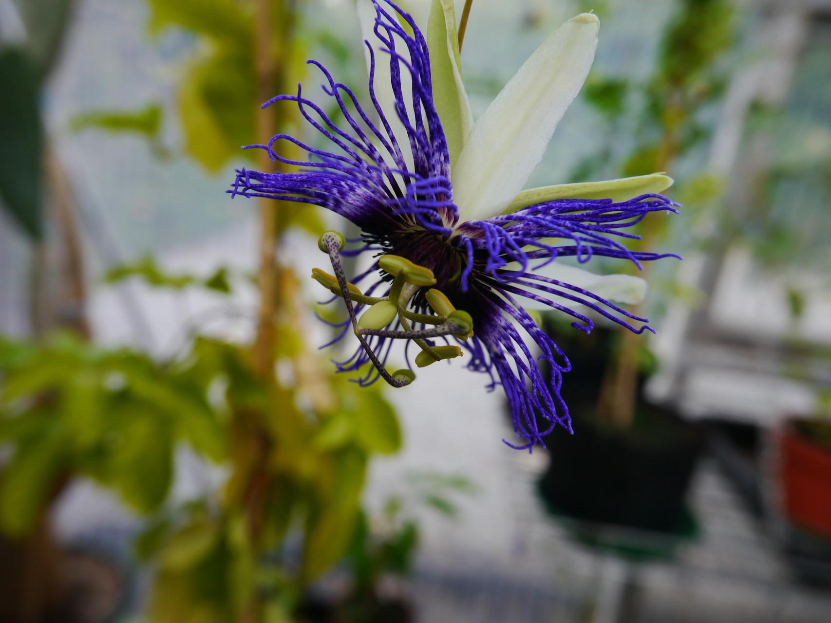 Passiflora Fruchtsorte (Kreuzung?)