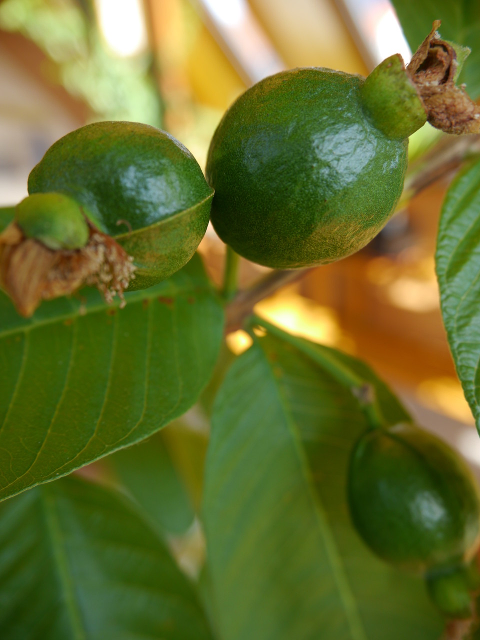 Behang Psidium guajava