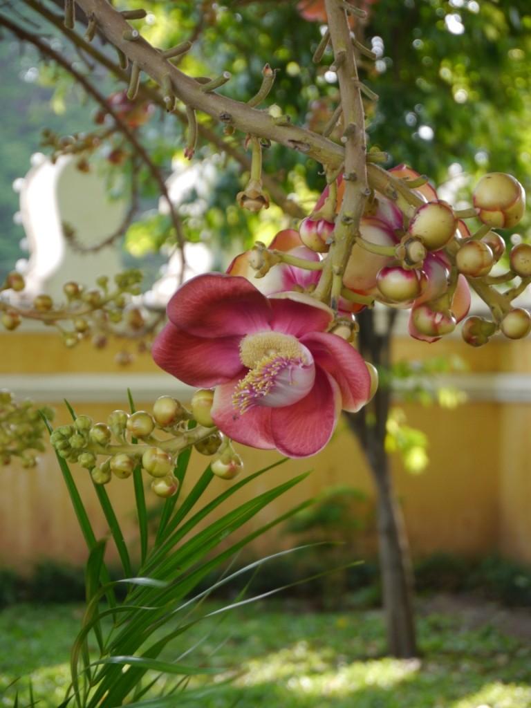 Blüte Kanonenkugelbaum
