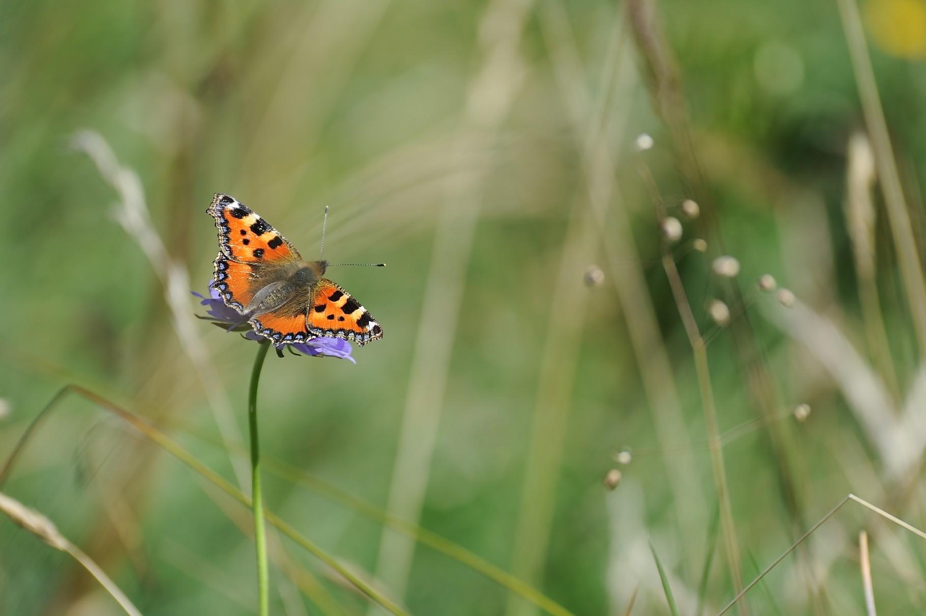 Papillon au Chasseron